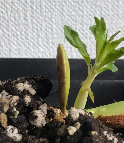 Almond seedling from store bought bag of nuts