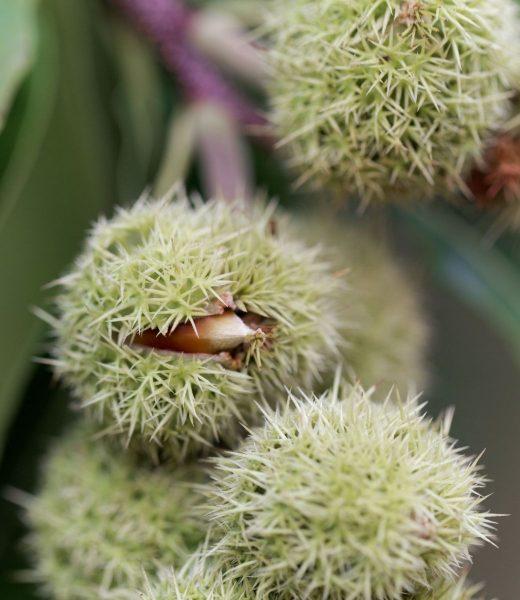 Dwarf Chestnut- American Chinquapin - Castanea pumila